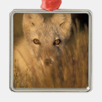 arctic fox, Alopex lagopus, on the 1002 coastal 2 Square Metal Christmas Ornament
