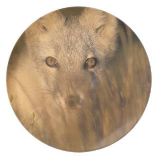 arctic fox, Alopex lagopus, on the 1002 coastal 2 Plate