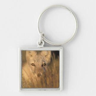 arctic fox, Alopex lagopus, on the 1002 coastal 2 Silver-Colored Square Keychain
