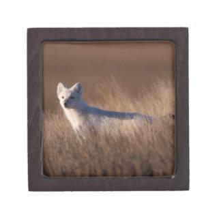 arctic fox, Alopex lagopus, on the 1002 coastal Keepsake Box