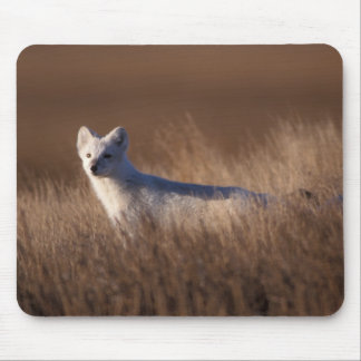 arctic fox, Alopex lagopus, on the 1002 coastal Mouse Pad