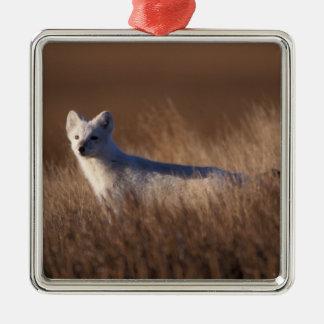 arctic fox, Alopex lagopus, on the 1002 coastal Square Metal Christmas Ornament