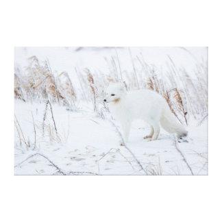 Arctic Fox Canvas Prints