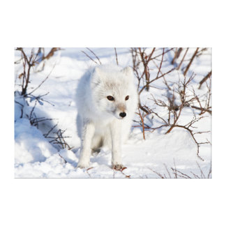 Arctic Fox , Churchill Wildlife Management Area Canvas Prints