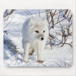 Arctic Fox , Churchill Wildlife Management Area Mouse Pad