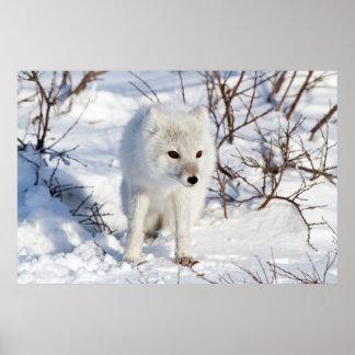 Arctic Fox , Churchill Wildlife Management Area Poster