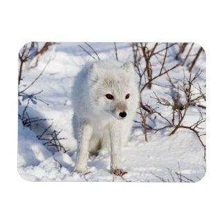 Arctic Fox , Churchill Wildlife Management Area Rectangular Photo Magnet