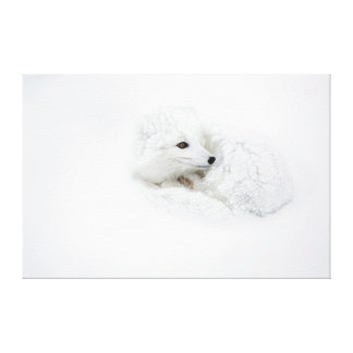Arctic Fox curled up in winter Canvas Print