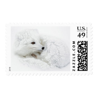 Arctic Fox curled up in winter Postage