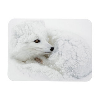 Arctic Fox curled up in winter Magnets