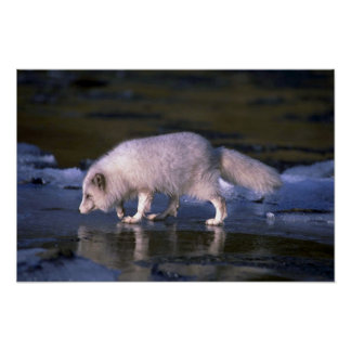 Arctic Fox foraging along icy river Poster