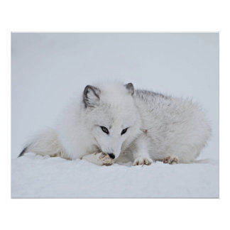 Arctic Fox in the Snow Poster