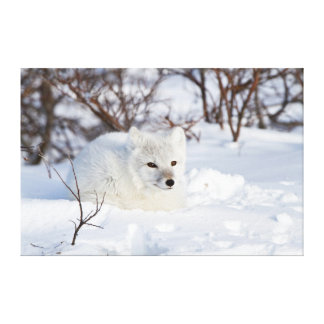 Arctic Fox in winter Stretched Canvas Print