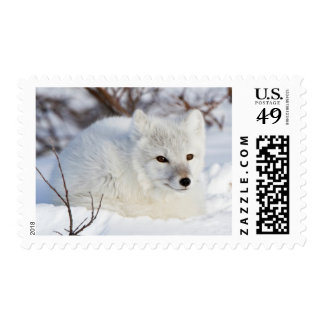 Arctic Fox in winter Postage Stamps