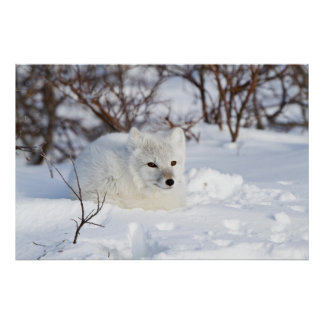 Arctic Fox in winter Poster