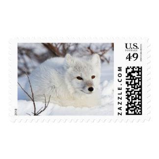 Arctic Fox in winter Stamp