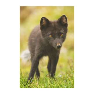 Arctic fox searches for food canvas prints