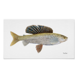 Arctic Grayling with Montana Markings Posters