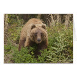Arctic grizzly bear forages for soap berries 2