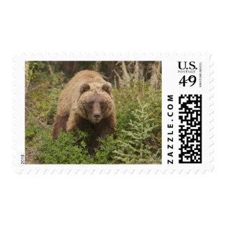 Arctic grizzly bear forages for soap berries 2 postage