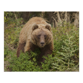 Arctic grizzly bear forages for soap berries 2 print