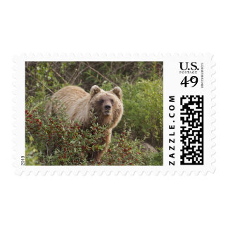 Arctic grizzly bear forages for soap berries stamps