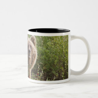 Arctic grizzly bear forages for soap berries Two-Tone coffee mug