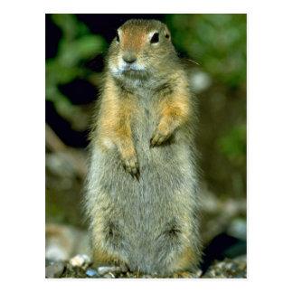 Arctic Ground Squirrel Post Card