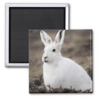 Arctic Hare Magnet