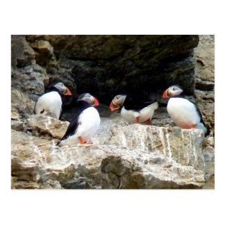 Arctic Puffins in Svalbard Postcard