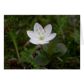 Arctic Starflower, Trientalis europaea Card