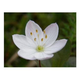 Arctic Starflower, Trientalis europaea Postcard