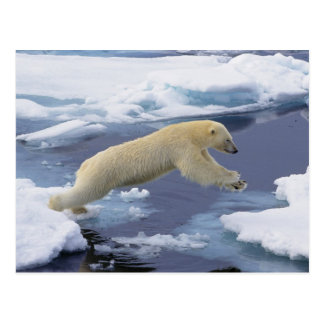 Arctic, Svalbard, Polar Bear extending and Post Card