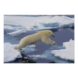 Arctic, Svalbard, Polar Bear extending and Posters