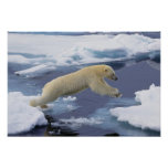Arctic, Svalbard, Polar Bear extending and Poster