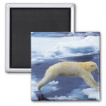 Arctic, Svalbard, Polar Bear hovering with all Fridge Magnets