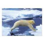 Arctic, Svalbard, Polar Bear hovering with all Photo