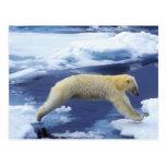 Arctic, Svalbard, Polar Bear hovering with all Postcard
