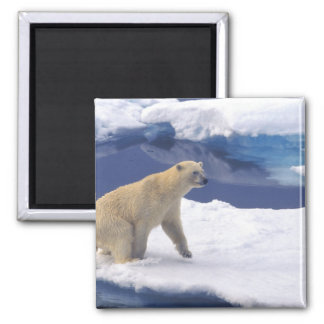 Arctic, Svalbard, Walrus being freindly 2 Inch Square Magnet