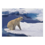 Arctic, Svalbard, Walrus being freindly Poster
