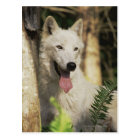Arctic wolf in forest postcard