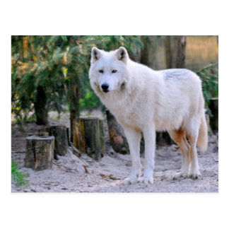 Arctic Wolf in the forest Postcard