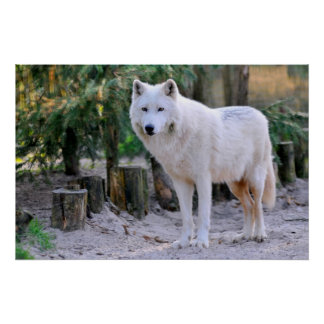 Arctic Wolf in the forest Poster