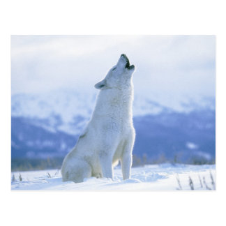 Arctic Wolf or Melville Island Wolf Postcard