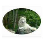 Arctic Wolf Postcard