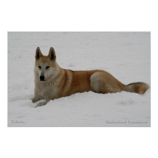 Arctic Wolf Snow Poster