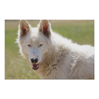 Arctic Wolf Spring Poster