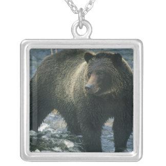Arctos del oso, del Ursus de Brown), cazando salmo Grimpolas Personalizadas