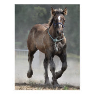 Ardennes foal post cards