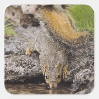 Ardilla de Fox del este Sciurus Niger adulto 2 Pegatina Cuadradas Personalizada
